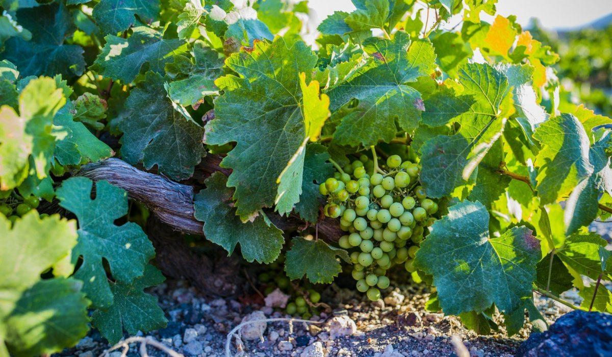 En Santorini se produce un vino de exquisita calidad.